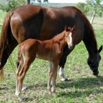 Absolut - Bella Donna filly
